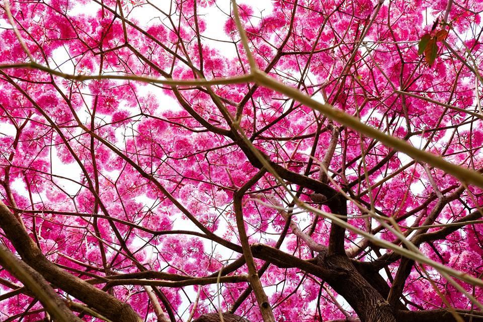 【高雄粉紅樹!】