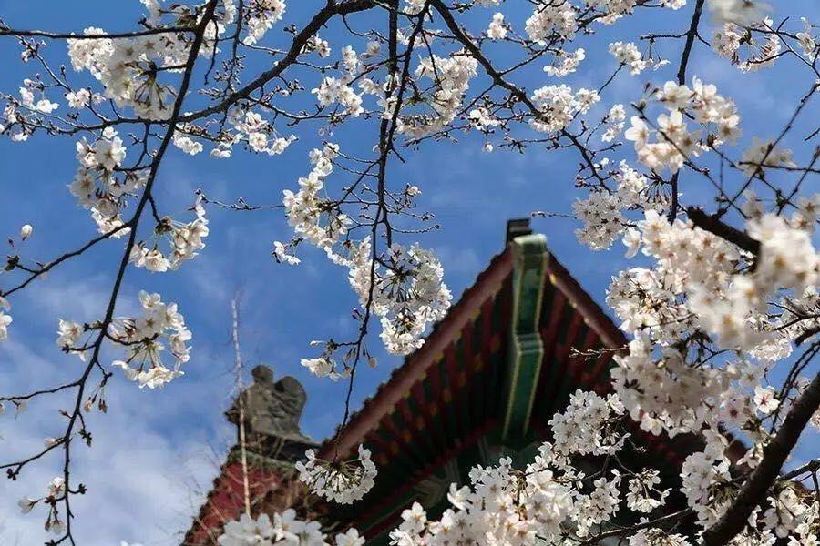 中國南京櫻花